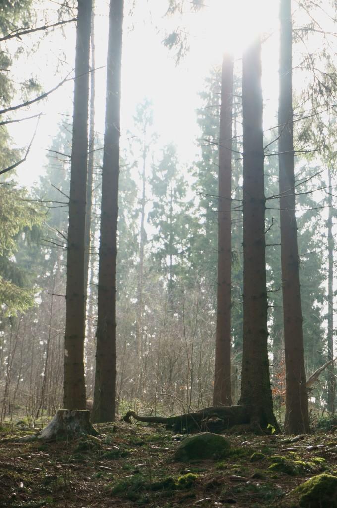 höga träd